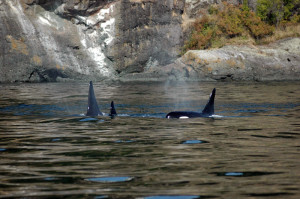 Orca whales in the San Juan Islands.